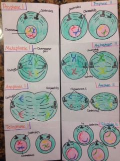 Meiosis Foldable