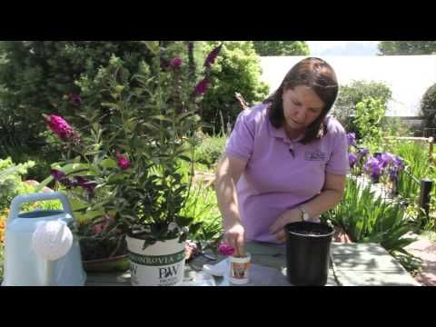 ▶ How to Propagate a Butterfly Bush : Grow Guru - YouTube