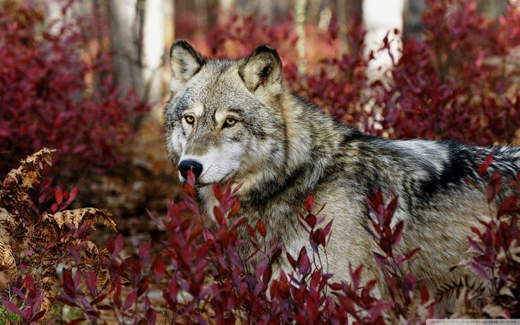 on All About Wolves  http://www.all-about-wolves.com/wp-content/gallery/free-wolf-photos-and-wallpaper/wolf-3.jpg