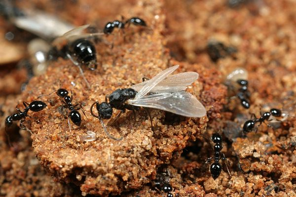 Where are Winged Ants Coming From? | Terminix