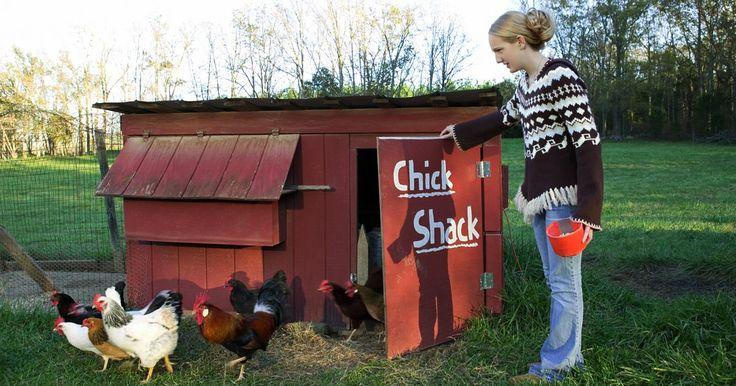 Como alimentar galinhas poedeiras em galinheiros. Galinhas criadas livremente complementam sua dieta com insetos e sementes que encontram ao ar livre. Porém, galinhas que vivem em galinheiros com apenas um pequeno espaço livre não têm muitas chances de encontrar alimentos suplementares. Isso significa que você deve alimentar suas galinhas com uma dieta variada e balanceada, em vez de apenas ...
