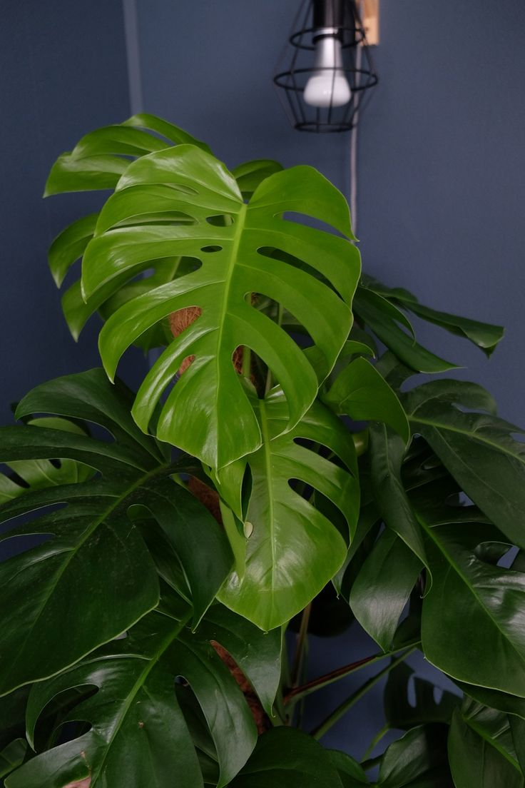 Monstera plant gekocht bij @Intratuin #monstera #plants #intratuin #monsteraplant #planten #plantlady