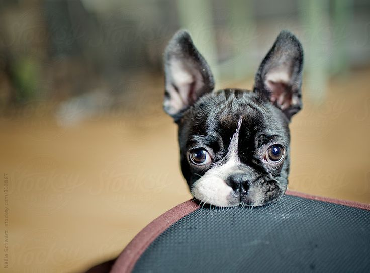 Boston terrier puppy with images boston terrier
