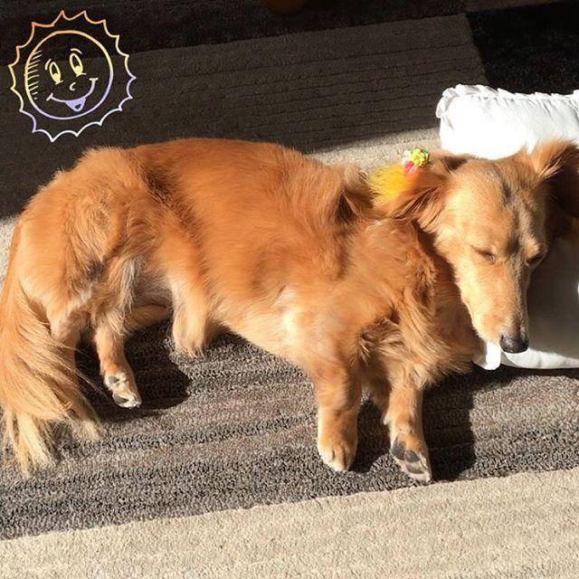 🐾Hello🐾 今日から連休になりまして。 リンとの時間も沢山出来るわけですが。。。。 そのリンは正月前からゴロゴロしております😑 . 🐶(Zzz。。。ぽっかぽか〜。。。💕) . 座布団枕に全身陽に浴びて、触ると熱くなってるし🤣 困った子豚ちゃんだ🐷 . #miniaturedachshund #dachshund  #doglove #pet #dog #doglife #petstagram  #dogstagram #lovedogs #instadog  #ミニチュアダックス #ミニチュアダックスフンド  #カニンヘン #わんこ #愛犬 #短足部  #犬のいる生活 #ひなたぼっこ  #멍스타그램 #개스타그램 #개 #닥스훈트
