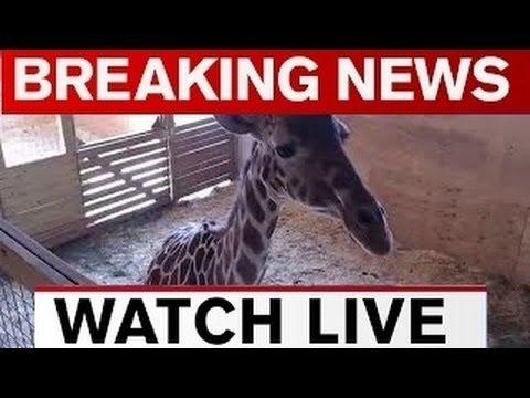 APRIL THE GIRAFFE GIVING BIRTH ! Animal Adventure Park Giraffe Cam 22 Ma...