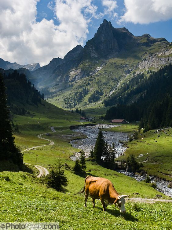 The most majestic and idyllic dairy grazing grounds on the planet. Berner Oberland, Loetschental, Switzerland