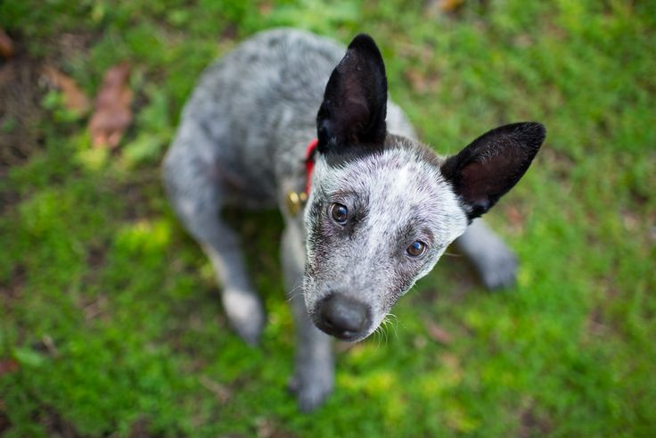 Stumpy Tailed Cattle Dog Rescue