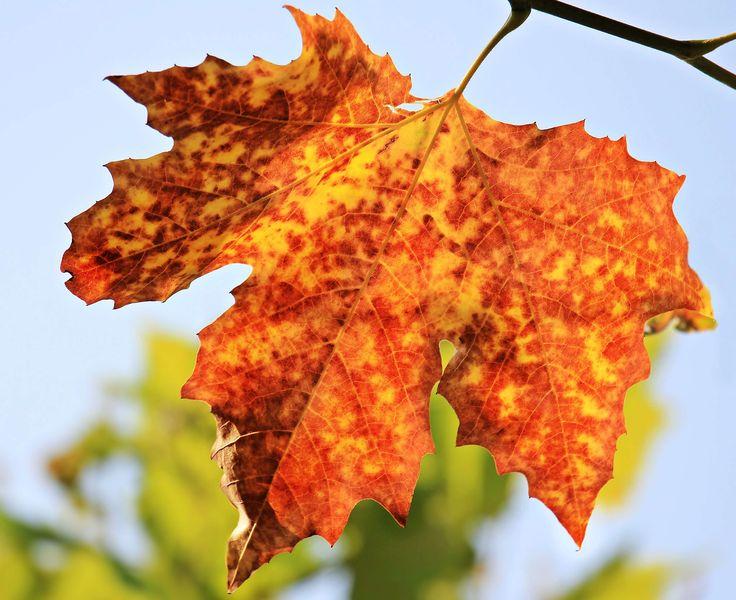 #autumn #autumn colours #autumn greetings #autumn leaf #autumn mood #autumn motive #background #background image #bright #chestnut leaf #color #colorful #decoration #deris #emerge #fall color #fall foliage #foliag