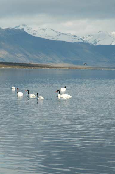 Cisne de cuello negro  -  Zapala