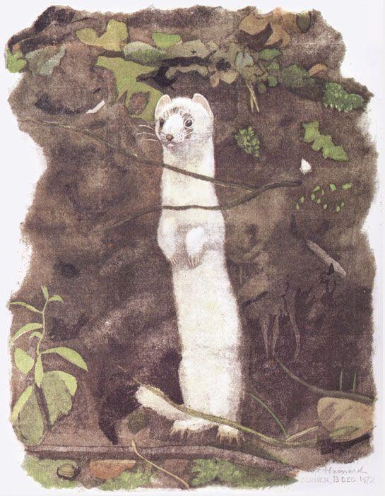 Hermine blanche 1972, Bernex Robert HAINARD Gravures