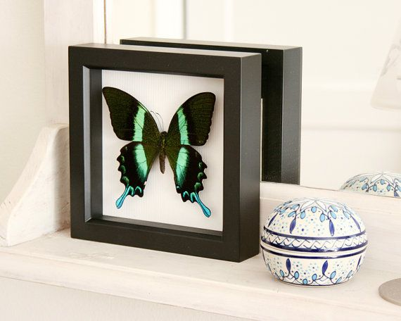 Real Framed Butterfly Taxidermy Display Peacock Swallowtail on Etsy, $39.99