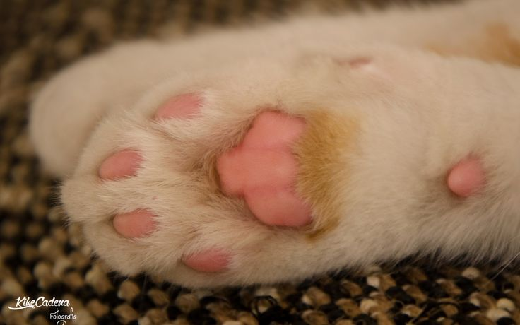 ¿Te has fijado alguna vez en las patas de tu gato?