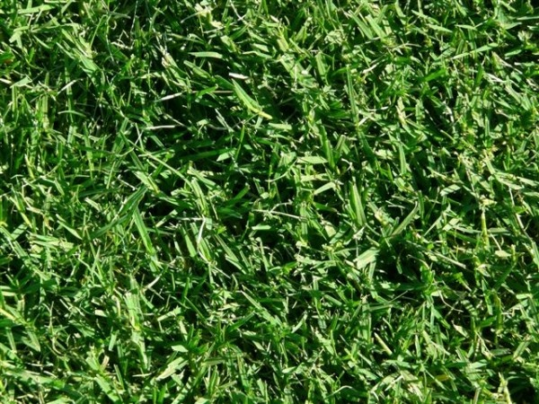 Santa Ana Couch is the oldest known named variety of couch, it is very similar to other couch varieties however Santa Ana Couch does produce lots of seed heads. Santa Ana Couch can be laid throughout the entire year, although it is only advisable to lay during winter in full sun conditions.   Lilydale Instant Turf   Love your lawn   Great grass   Lily & Dale   Follow us   Garden Tips & Advice   Contact us   Lawn Solutions Australia