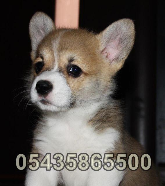 Satılık Welsh Corgi Yavruları | Bursa Köpek Çiftliği  http://www.heavendog.net/satilik-welsh-corgi-yavrulari.html