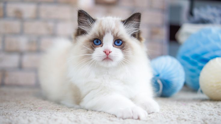 A lilac bicolor ragdoll kitten can be a perfect companion