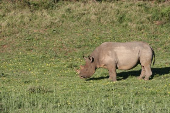 Black Rhino, Amakhala Game Reserve