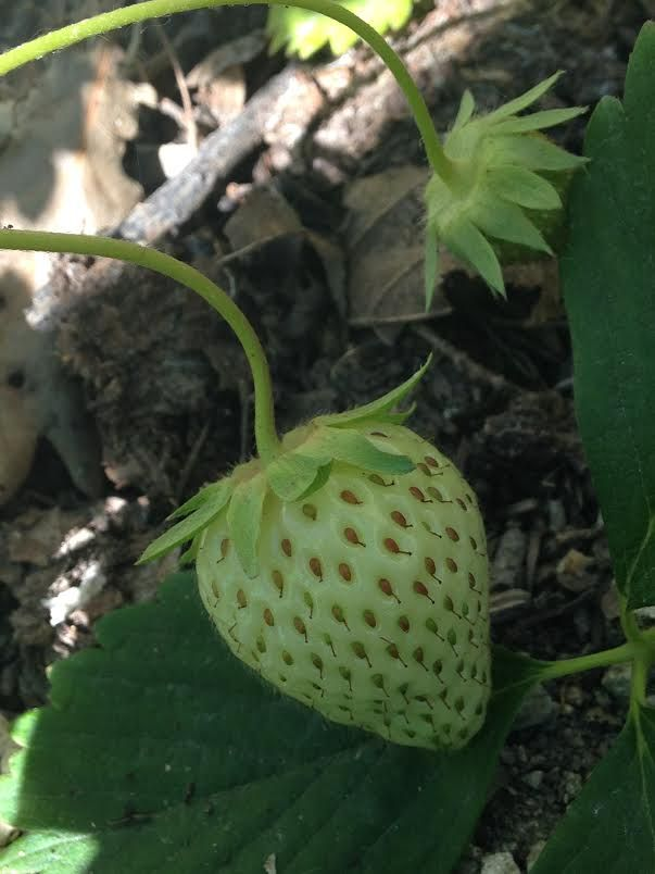 New life- a strawberry in the Sensory Awareness garden [Natalie Tribble]
