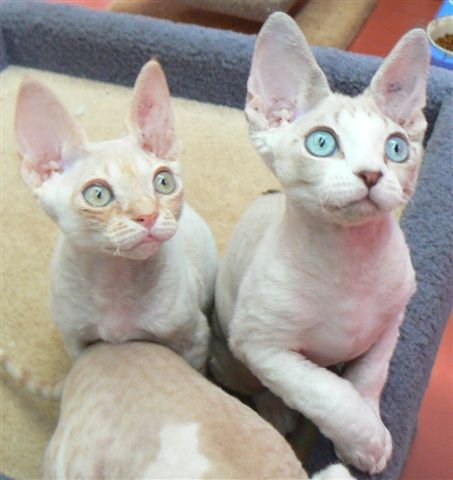 Cats with one of the biggest eyes are known to be Devon Rex. The strange feature of this cat is not just about its big eyes. The cat's skin is also waterproof. Devon Rex may be one of the unusual cats but this feline friend is truly sweet.