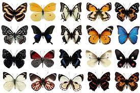 Resultado de imagem para borboleta