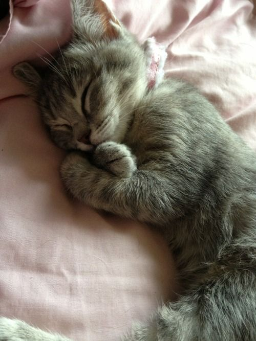 Kitten, kitty, cat, cute, nuttet, sleepy head, sleeping, fluffy, furry, pet, beautiful, adorable, photo.