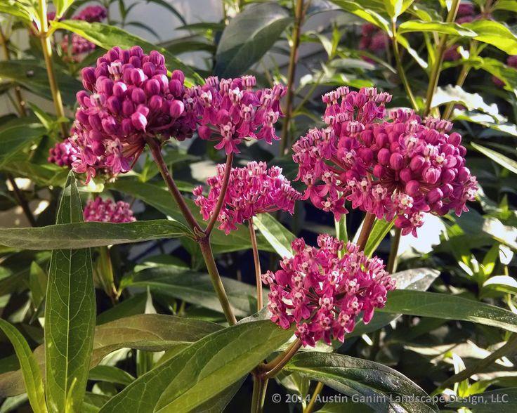 Garden Design Zone 3 garden design zone 3 incarnata swamp milkweed has beautiful pink