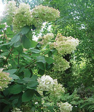 Hydrangea, Paniculata Unique