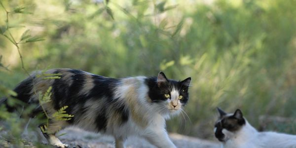 Put a Stop to Australia's Plan to Kill Feral Cats -  No animal deserves to die a slow and painful death by being infected with a virus. Non-lethal management practices, such as spay/neuter, are available and should be implemented.