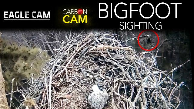 An unknown figure is captured walking below the nest of a pair of Michigan bald eagles on the CarbonTV Eagle Cam.