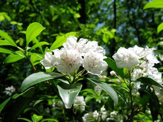 Kalmia latifolia (Mountain laurel) - Hedgerow/Understory