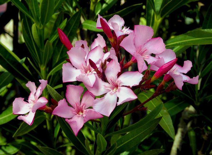 Oleander erfolgreich vermehren