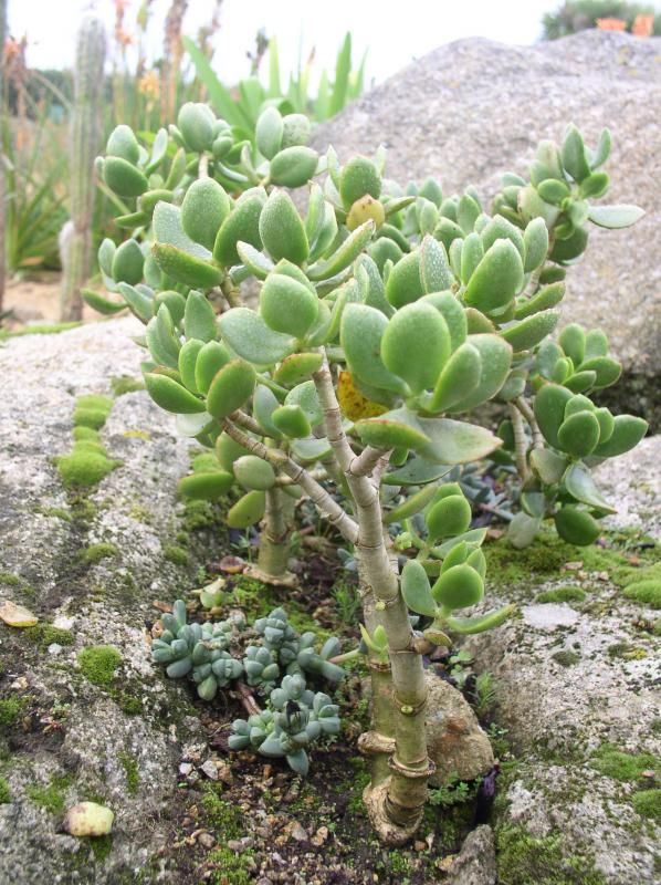 17 best images about crassula ovata on pinterest trees bonsai trees and miniature gardens. Black Bedroom Furniture Sets. Home Design Ideas