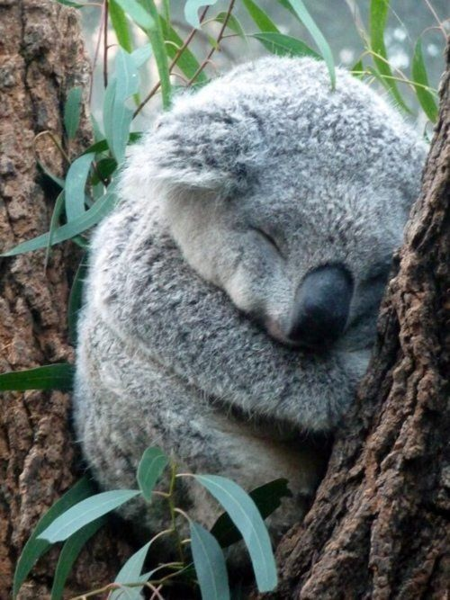 Google Image Result for http://pinkbluelovescute.com/wp-content/uploads/2012/08/Koala-bear.jpeg