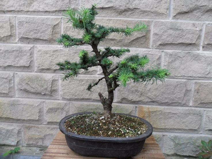 Japanese Larch Bonsai tree project in Garden & Patio, Plants, Seeds &…