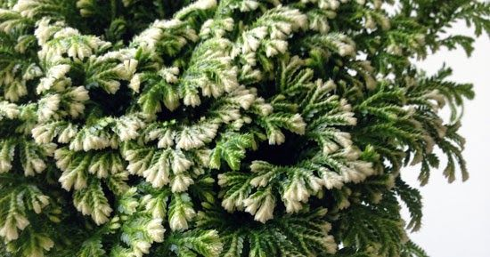 So-called Frosty Ferns have been popping up at retailers this Christmas and selling like gingerbread hotcakes. The bad news is that they p...