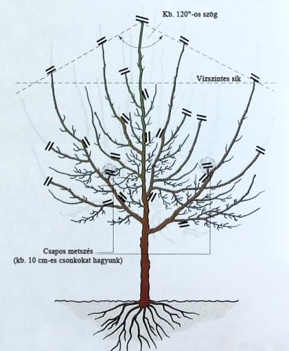 Új cikk: A szilvafa metszése, http://kertinfo.hu/a-szilvafa-metszese/, ezekben a témakörökben:  #Alma #Kert #Mag, írta: Édenkert.hu