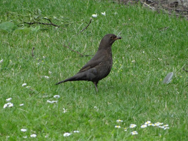 Common Blackbird, female / Svarttrost, hunn / Turdus merula, female. York, Great Britain, June 2014