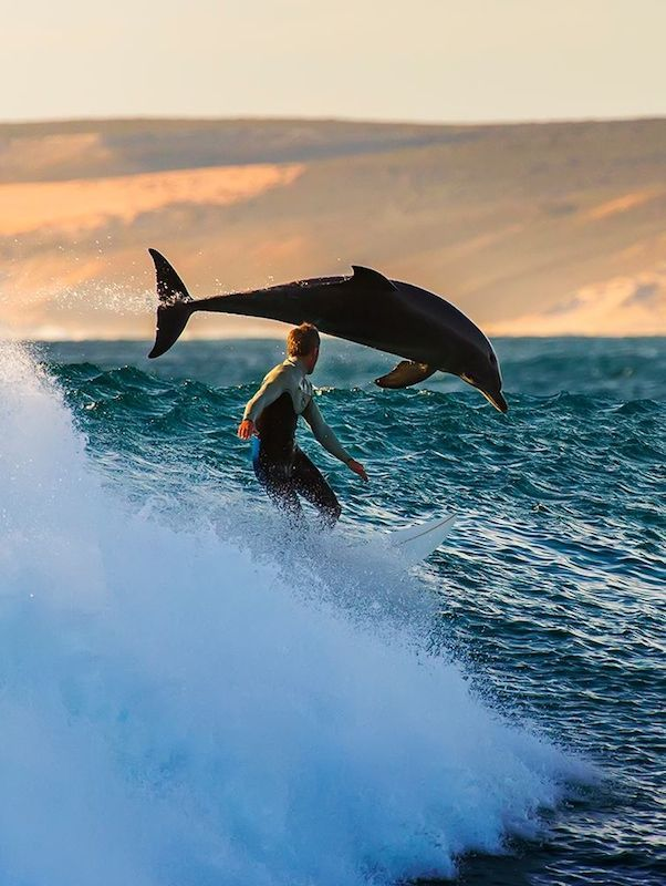 Amazing... surfing with dolphins...