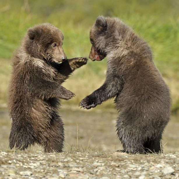 235 best images about Brown Bears on Pinterest | Canada ...