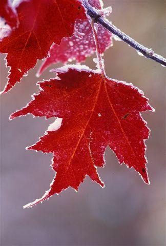 Red Maple Tree Seeds Acer rubrum Ornamental Variety par CheapSeeds, $2.99