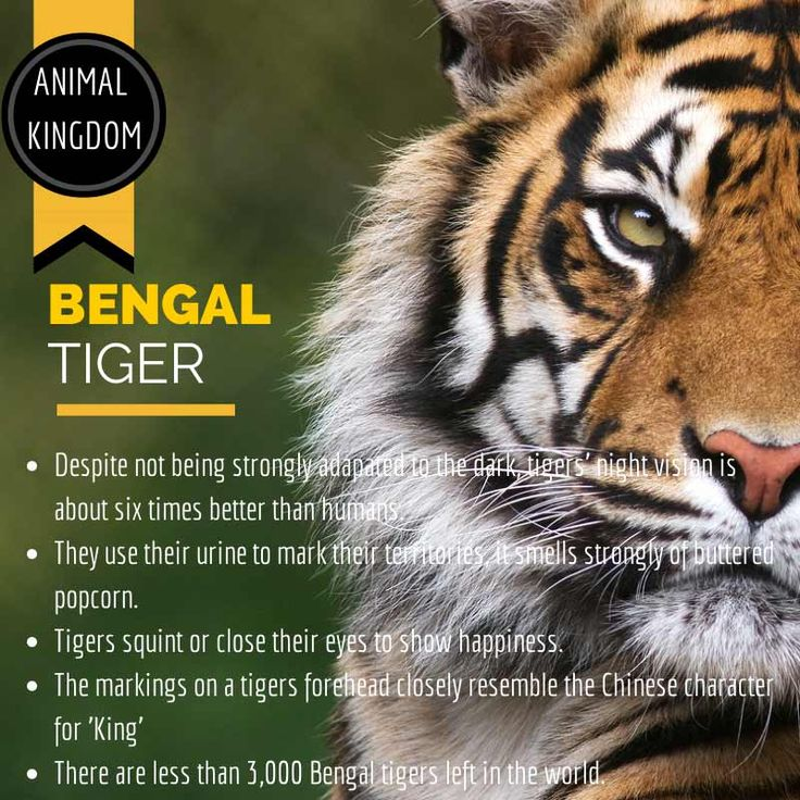Steppes Travel Tiger Infographic