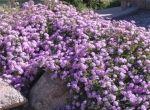 Purple Lantana (Lantana camara)