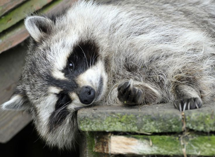 http://i100.independent.co.uk/article/no-a-marine-didnt-use-a-raccoon-to-fool-a-breathalyser-test-and-then-get-attacked-for-his-trouble--bJlhlabwxDg