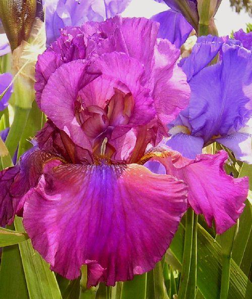 Her Royal Highness Tall Bearded Iris Bearded Iris Alpine Garden Iris