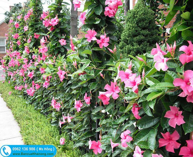 Hoa Hồng Anh trồng trang trí khuôn viên công trình, biệt thự, nhà hàng cây ưa nắng, dễ trồng và chăm sóc. Cây Hồng Anh leo sẵn hoa màu hồng và mới có thêm Hồng Anh hoa đỏ và trắng.