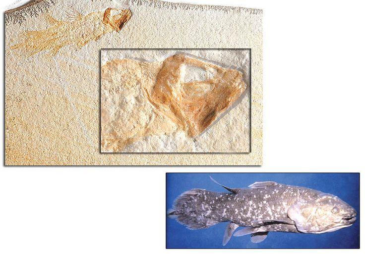 206 – 144 MİLYON YILLIK COELACANTH http://dusuneninsanlaricin.com/evrimi-curuten-50-fosil/