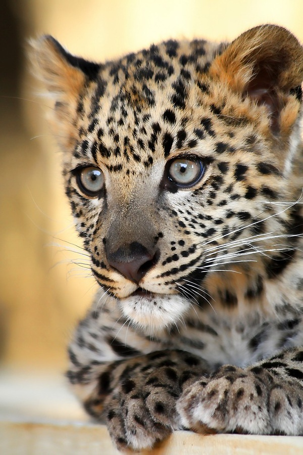 1000+ images about Leopard.Love on Pinterest | Beautiful, Eyes and ...