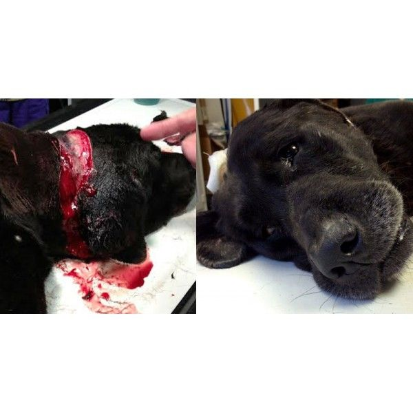 Someone tried to CUT OFF MY HEAD!  ➤ http://hendrickboards.com/s/save-moony   Warning Graphic! 100 bites and puncture wounds, abscess on shoulder to the bone, right ear had dead maggots in it, neck wound- rotting &  infected. His abuser attempted to decapitate Moony. We desperately need your help! Moony's care is going to take a lot of funding & a ton of support! We have created the SAVE THE WORLD shirts & more to help us raise the funds needed for Moony. You can donate or purchase a tee!