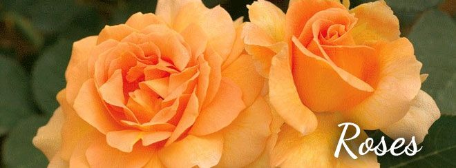 1000 Images About Roses On Pinterest Gardens Della