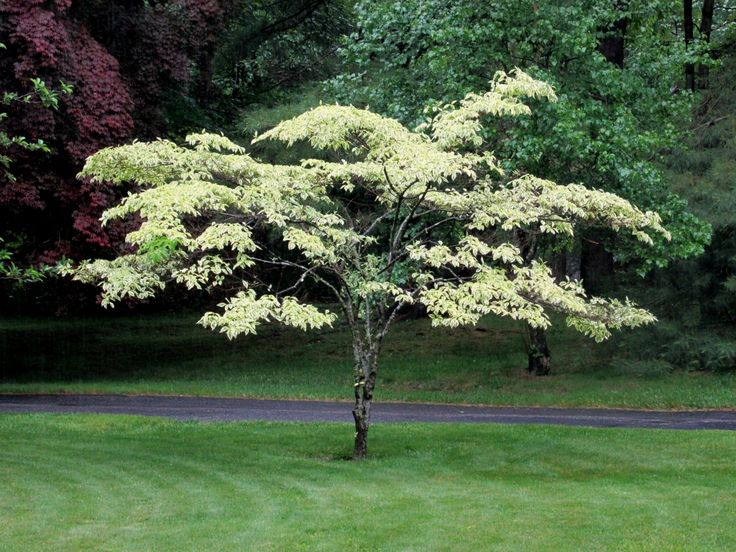 """It's a knockout – Mary Hull's dogwood. Its lime colored – set against the green backdrop of Hull's front yard. """"It came as a spindly stick,"""" she said, and now its ten years old. """"It's a rar…"""