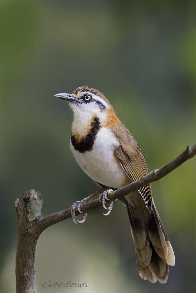 -Lesser necklaced Laughingthrush (Garrulax monileger).
